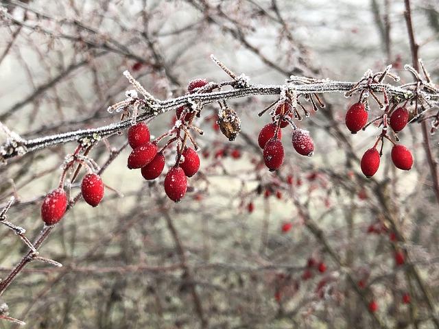 přemrzlé plody