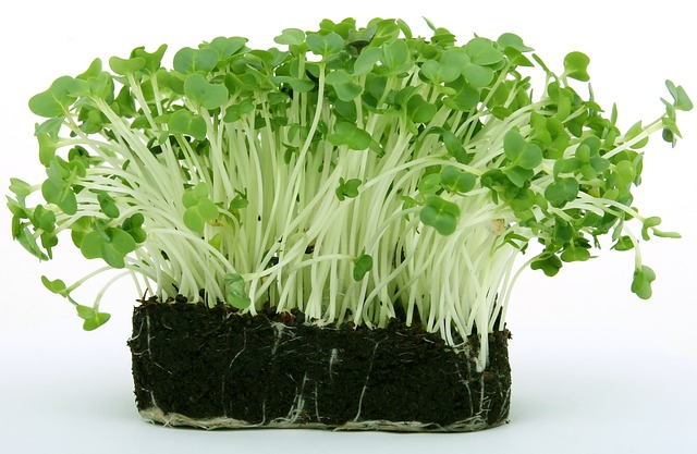 naklíčené rostlinky